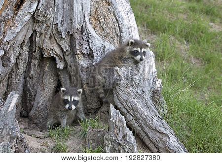 Two playful, young raccoons at the base of an old tree stump