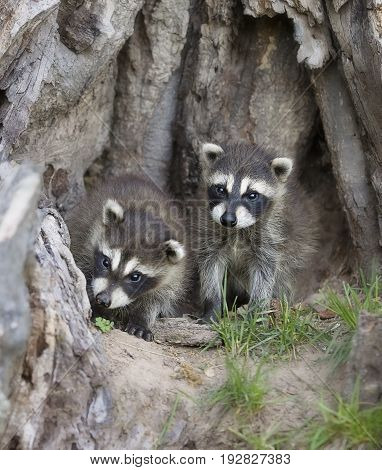 Two young raccoons at the base of a tree stump