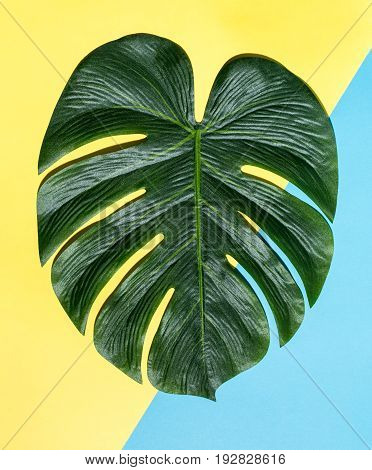 Tropical monstera leaf with hard shadow on a split color background