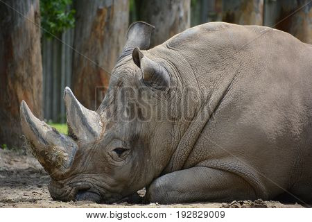 A rhinoceros ( meaning