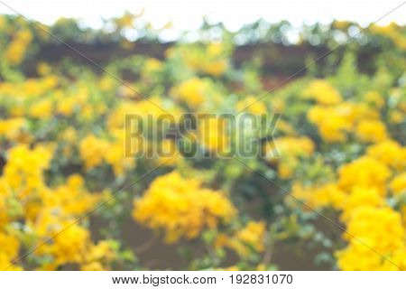 Blurry image. Yellow flower hanging down from the roof. Abstract blur for background.