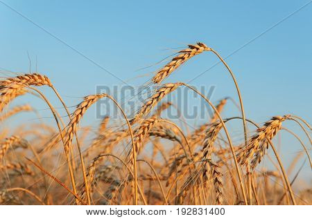 golden wheat of ear on sunset time in field