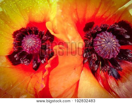 Red poppy flower pestle and stamens close-up