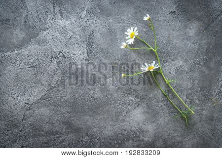 Lovely daisy flower lying on a dark gray table, white soft petals, textspace, topview