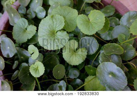 Green Gotu kola  leaves in the pot