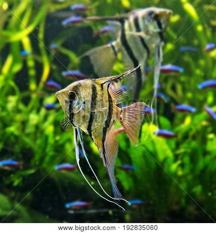 an Angelfish Pterophyllum scalare  - close up