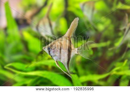 Angelfish Pterophyllum scalare - close up in detail