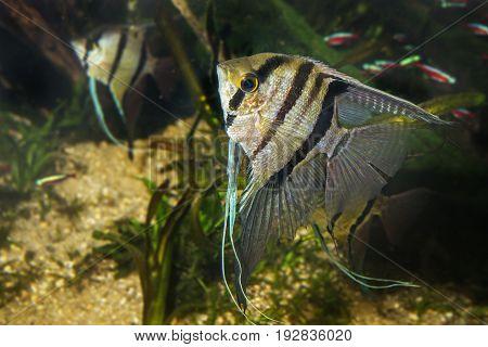 Angelfish Pterophyllum scalare aquarium fish close up