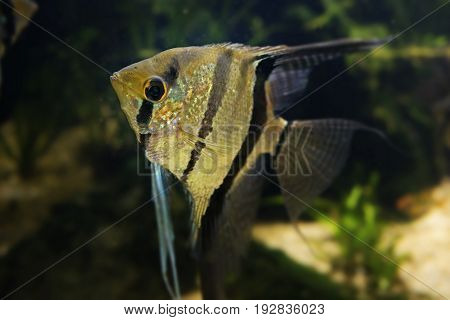 Angelfish Pterophyllum scalare -  in the detail
