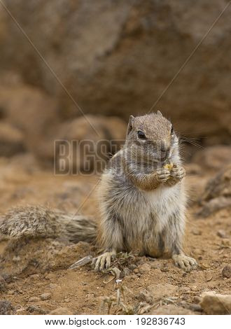 Squirrel ground. Prairie dogs in nature eating and jump. Groundhog
