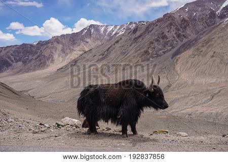 Kashmir yak in beautiful  landscape with snow peaks background,North India.