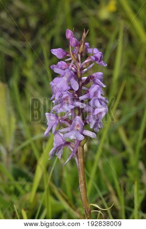 Common Fragrant Orchids