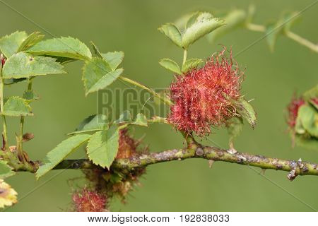 Robin's Pin Cushion Gall - Diplolepis rosae on Dog Rose - Rosa canina