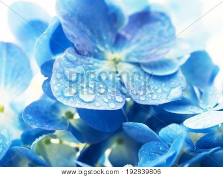 Soft blue Hydrangea (Hydrangea macrophylla) or Hortensia flower with water dew on petals. Focus on front dew. Shallow depth of field for soft dreamy feel.