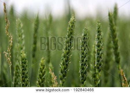 Green Wheat Head in Cultivated Agricultural Field Early Stage of Farming Plant Development Selective Focus with Shallow Depth of Field