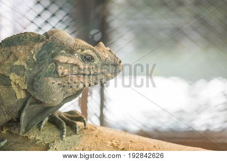 Closeup chameleon cling on the timber on blurred animal cage textured background with copy space