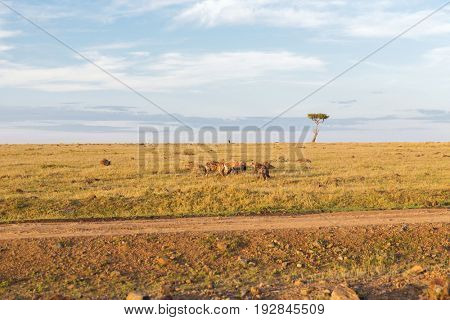 animal, nature and wildlife concept - clan of hyenas eating carrion or prey in maasai mara national reserve savannah at africa