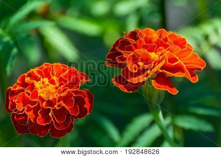 Flowers Marigolds in the garden as a background