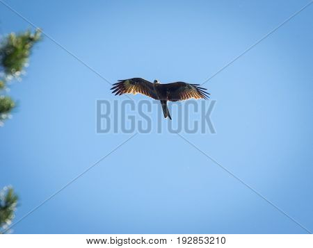Black kite spread wings flying in the blue sky above the pine trees top branches