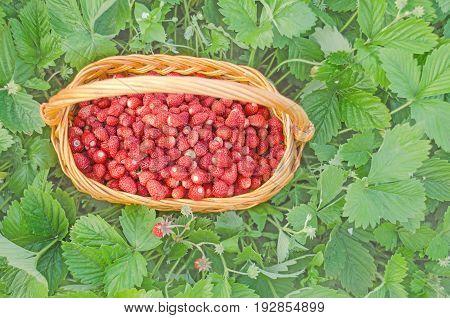 Basket Fresh Strawberry With Green Leaf