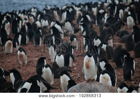 Penguins at the Paulet Island Rookerie, off the coast of the Antarctic Peninsula.