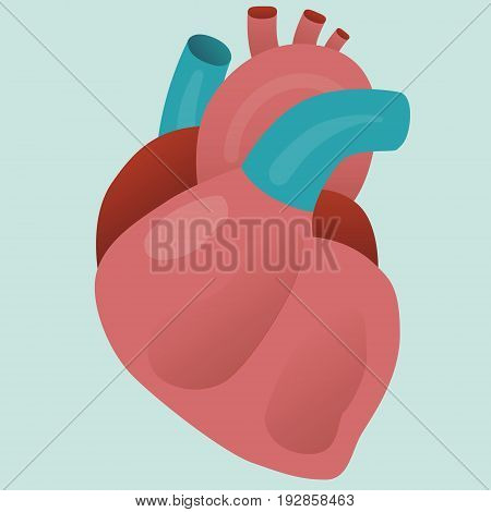 Real human isolated organ heart vector for your ideas