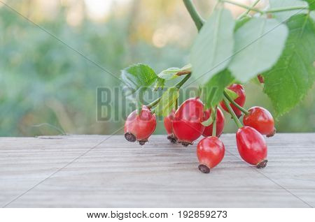 Dog Rose On Brown Wooden  Background
