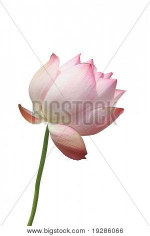 Lotus blossom isolated on white background