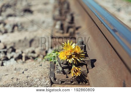 Yellow flowers on the railway. Railway rail close-up background wallpaper.