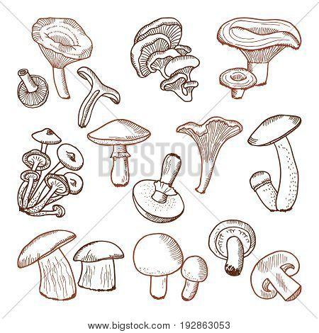 Fresh food of mushrooms. Nature vector hand drawn illustration. Organic fresh mushroom, vegetable sketch champignon