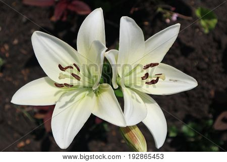 Asiatic hybrid lily 'Apollo' two white flowers and buds.