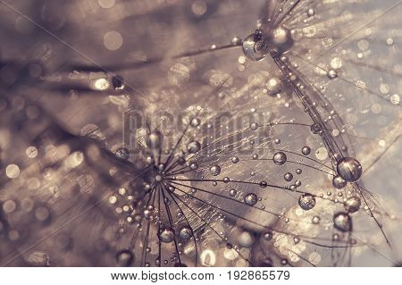 Dandelion with water drops. A beautiful macro of a dandelion. Golden drops. Selective focus