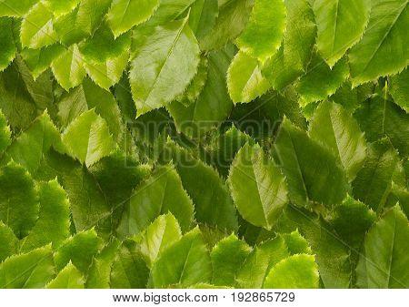 Green leaves background, close-up. Natural fresh green leaf backdrop, summer tree concept. Apple leaves background.