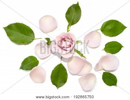 Beautiful rose bud, falling petals, fresh green leaves. Romantic flower card, top view. Pink rose closeup, green leaf flat lay, white background.