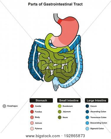Parts of Gastrointestinal Tract infographic diagram including end of esophagus stomach small large intestine where digestion take place in digestive system for medical science education health care