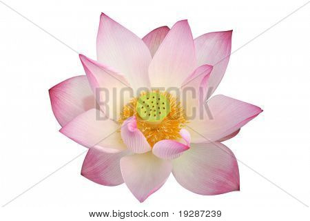 lotus flower - path included