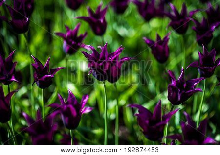 Burgundy tulips. Flower tulips background. Beautiful view of tulips under sunlight landscape at the middle of spring or summer. Tulipa Burgundy field, spring flowers at green garden.