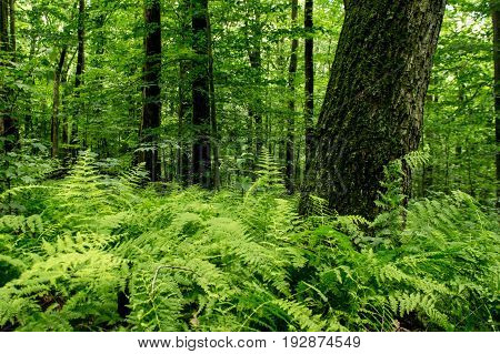 Trees in the forest surrounded by ferns.