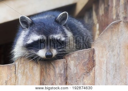raccoon Procyon lotor , also known as the North American raccoon close up. Human like expression on the animal face