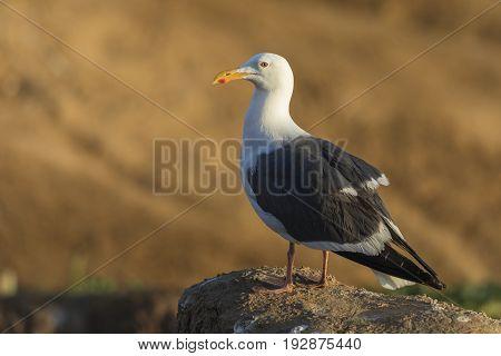 California Gull Perched On A Cliff - San Diego, California
