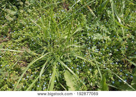 Flowering Grey Field Speedwell Beneath The Grass