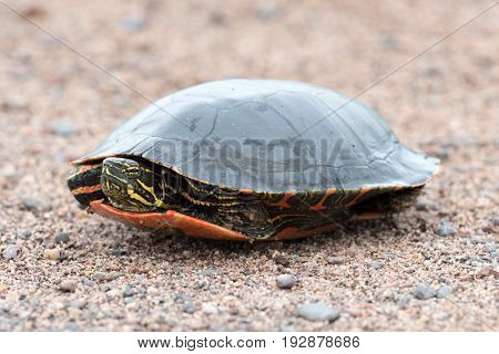 Painted Turtle Sits on Gravel and is Tucked into its Shell