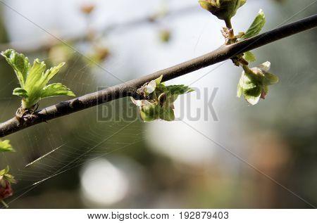 Buds Of Prunus Triloba