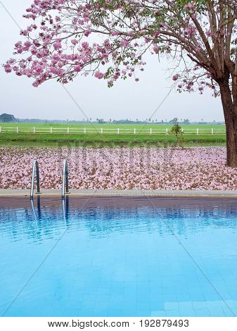 Swimming Pool And Pink Trumpet Tree Flower