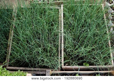 Leeks Growing Inside Of A Greenhouse