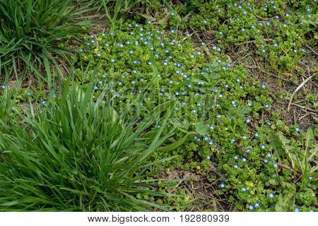 Small Blue Flowers Of Veronica Among Tussocks Of Grass