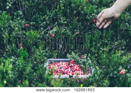 Picking lingonberry. Woman gathering wild berries. Carpathian forest
