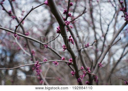 Pink Flower Buds Of Eastern Redbud Tree