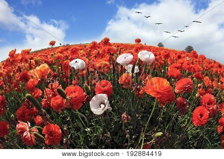 Picturesque field of the blossoming red-orange and white buttercups, photographed a lens