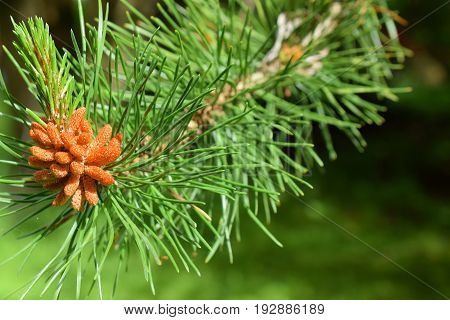 Close up of new growth on a pine tree. Focus on foreground.